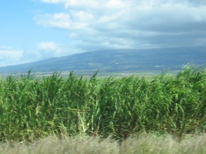 sugar cane growing on Maui