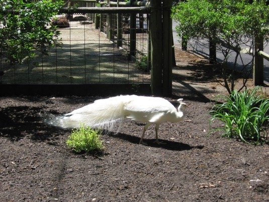 "White Peacock,""won't you display your feathers?"""