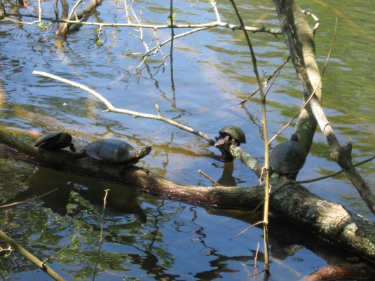 Turtles out on a limb