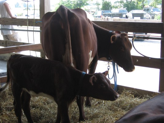 Three month old calf & mother at Hunterdon county 4-H fair