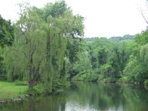 Weeping Willow tree along the river as seen from a small bridge