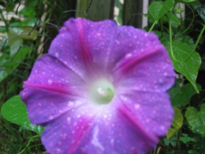 rain droplets on morning glory flower